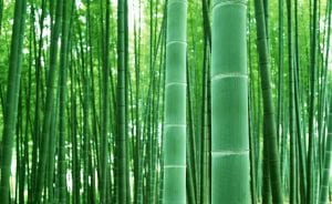 CZ Grain Giant Bamboo Seeds, 50-Count
